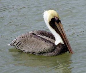 brown-pelican-nps