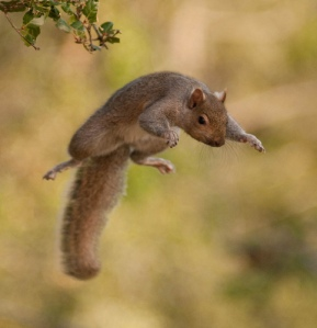 jumping-squirrel1
